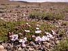 Junellia toninii ssp toninii