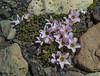Oxalis enneaphylla