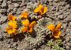 Viola auricolor