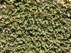 Azorella monantha