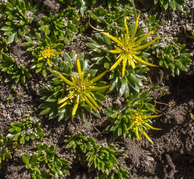 Hamadryas sempervivoides