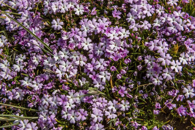 Junellia toninii ssp. toninii