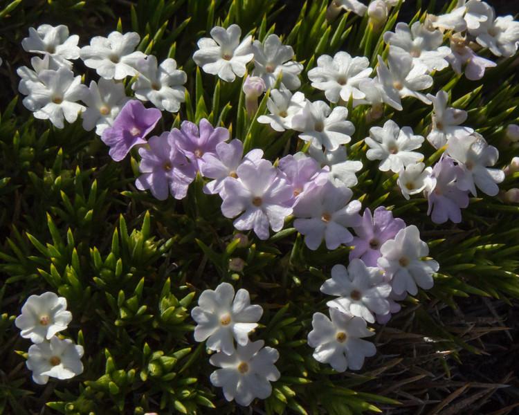 Junellia toninii var mulinoides