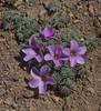 Oxalis laciniata var. pubescens