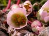 Calandrinia fuegiana