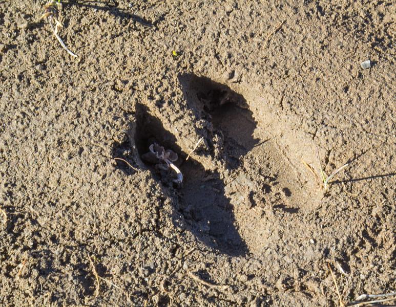 Footprint of Lama guanicoe