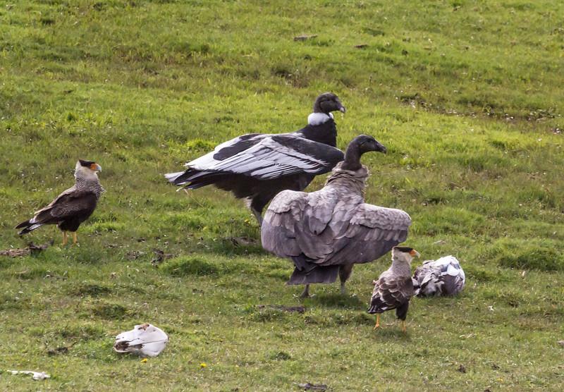 Caracara plancus and Vultur gryphus