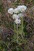 Primula magellanica ssp. magellanica