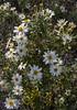 Chiliotrichum diffusum