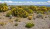 Grindelia chiloensis