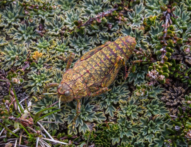 Grasshopper ? 81