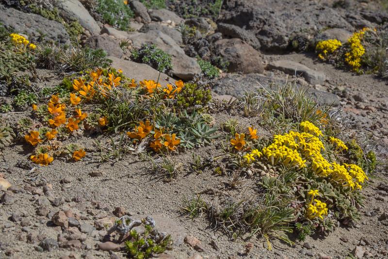 Viola auricolor and Oreopolus glacialis