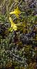 Olsynium lyckholmii ssp. patagonicum
