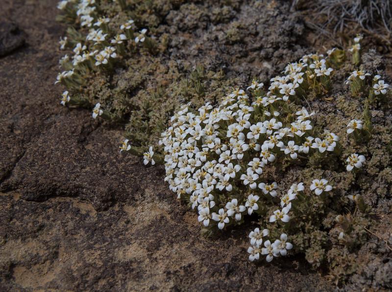 Nassauvia glomerulosa