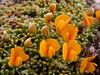 Adesmia salicornioides