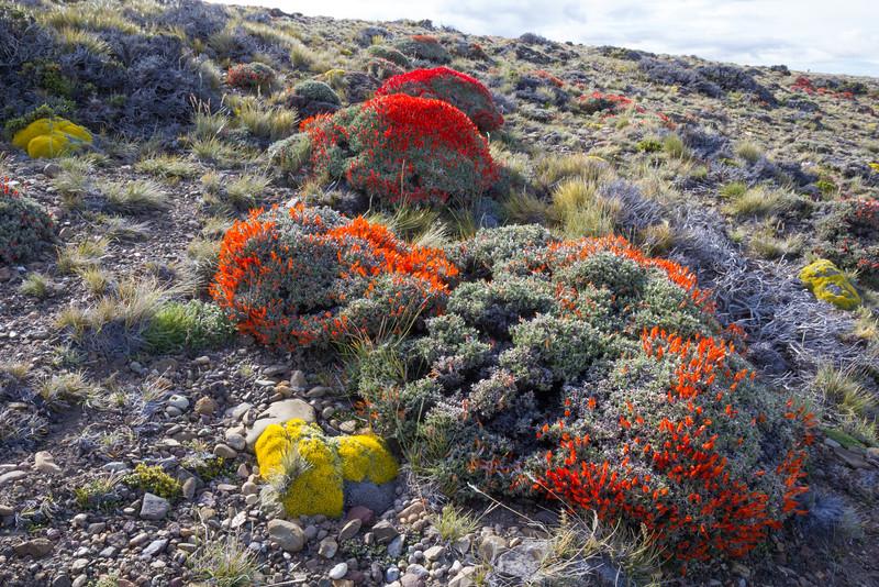 Anarthrophyllum desideratum and Benthamiella spegazziniana