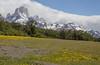meadows with Taraxacum officinale