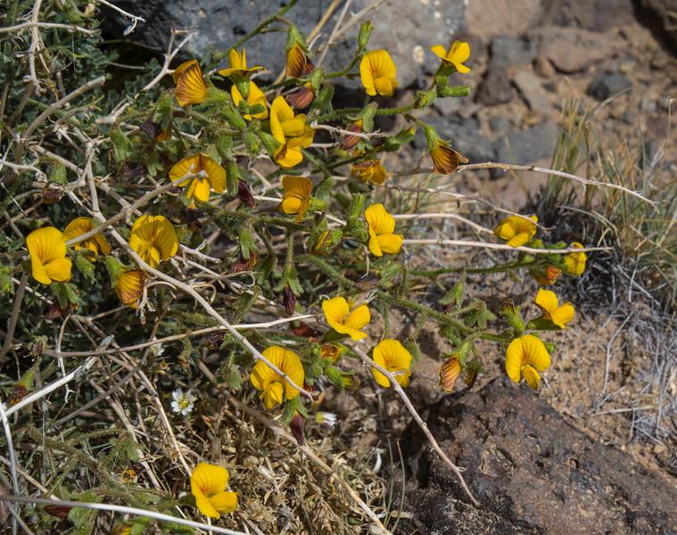 Adesmia australis