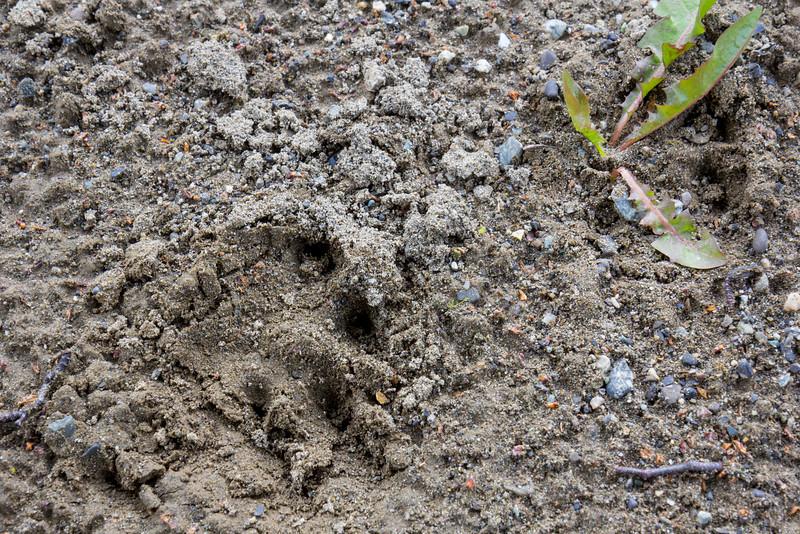 Footprints of Puma concolor