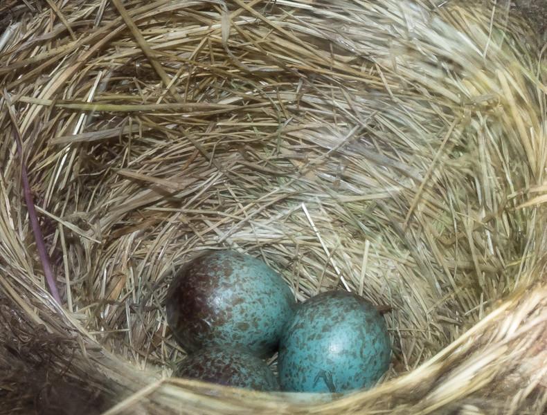 Nest and eggs of Turdus falklandii