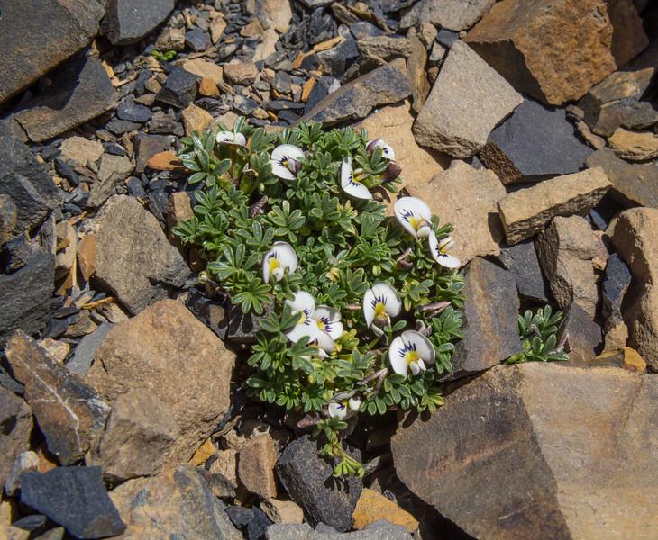 Adesmia parvifolia