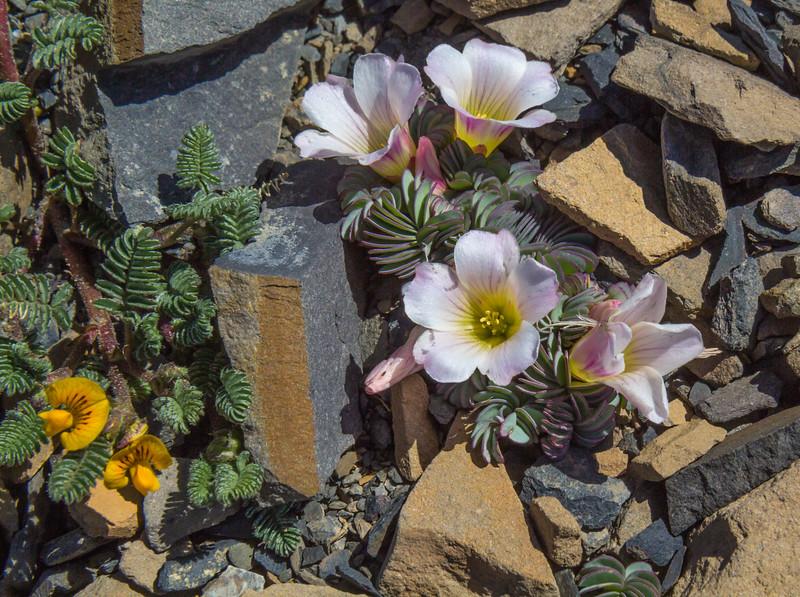 Adesmia corymbosa and  Oxalis enneaphylla