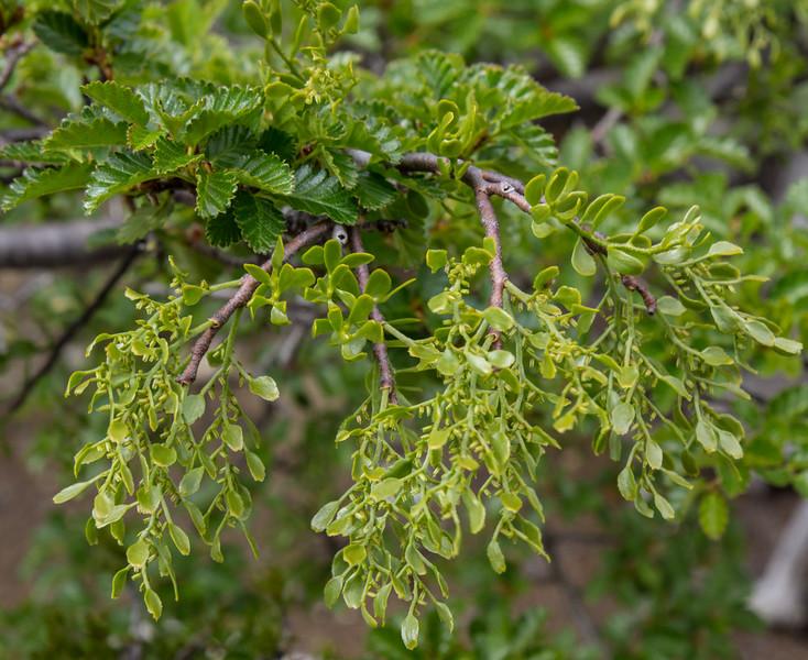 Misodendron quadriflorum on Nothofagus pumilio