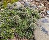 Nassauvia magellanica
