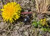 Beetle? Taraxacum gilliesii