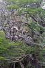 Theristicus  melanopsis