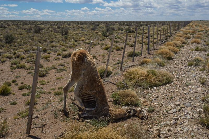 Lama guanicoe, Continuation trip see album: North Patagonia