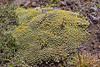 Benthamiella azorella