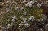 Thlaspi magellanica