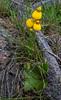 Calceolaria biflora