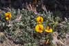 Adesmia villosa