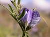 Vicia magellanica