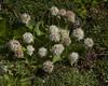 Valeriana macrorhiza