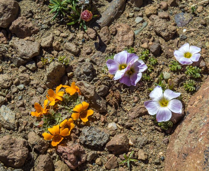 Viola auricolor and Oxalis adenophylla