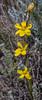 Sisyrinchium spec. ? 46