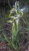 Chloraea magellanica