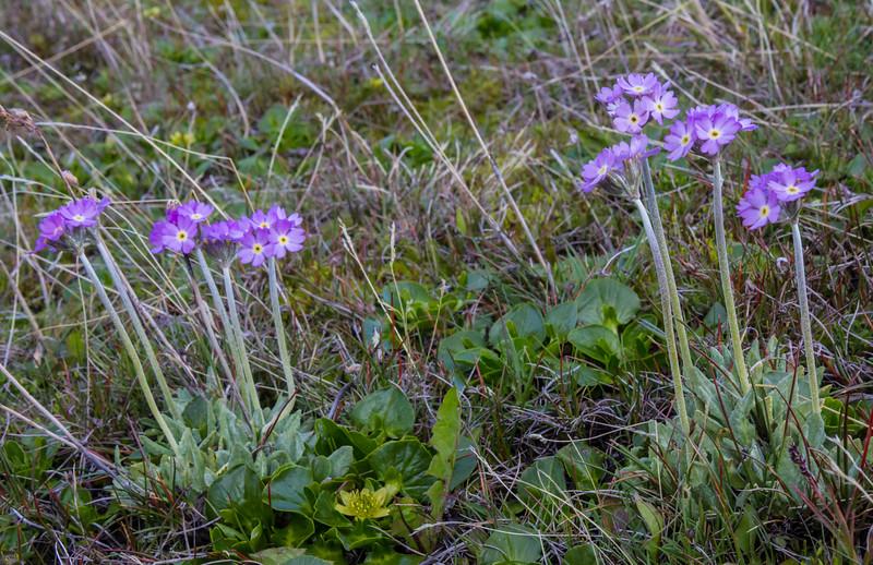 Primula magellanica ssp. magellanica and Caltha sagittata