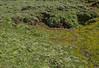 Valeriana macrorhiza and Ranunculus peduncularis