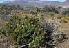 Mulguraea ligustrina var. lorenzii