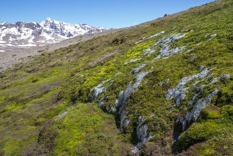 Wet habitat of Caltha sagittata