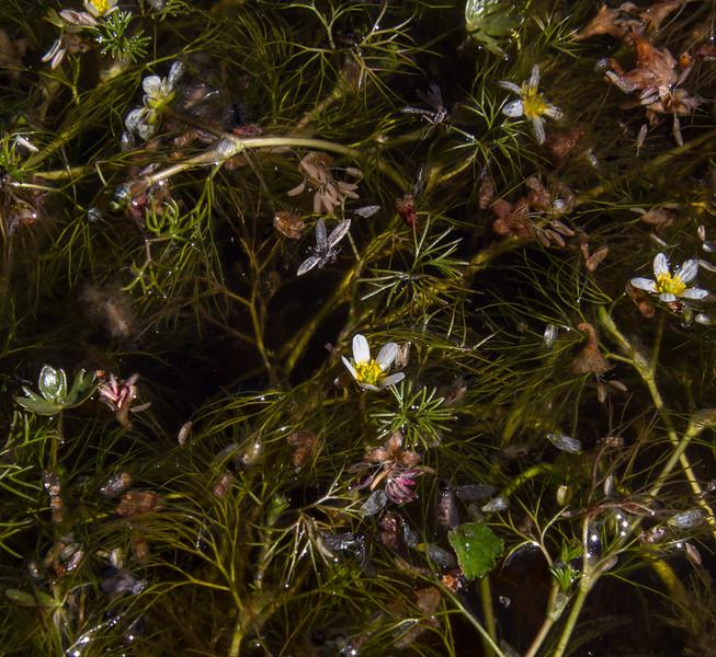 Ranunculus aff aquatilis
