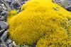 Benthamiella spegazziniana