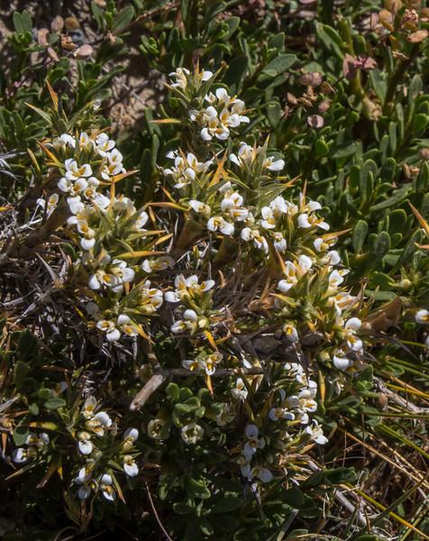 Nassauvia pentacaenoides