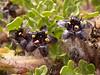 Jaborosa magellanica