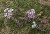 Arjona tuberosa