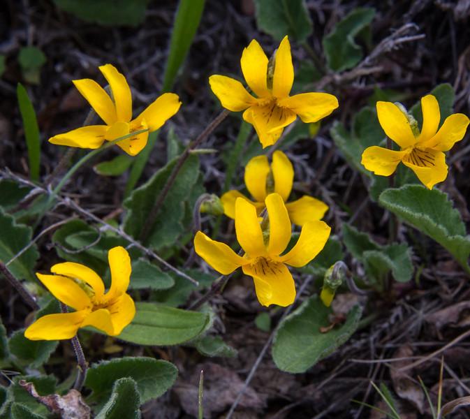 Viola maculata var. microphyllos ?